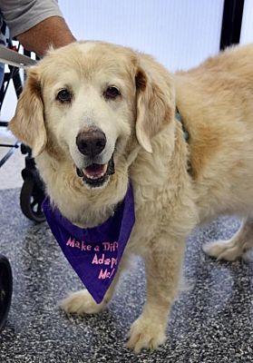 Available Dogs – Golden Retriever Rescue Alliance, Inc